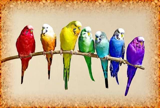Волнистый попугайчик по английски