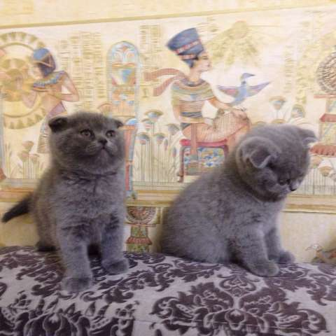 шотландские вислоухие серые котята фото цена #16