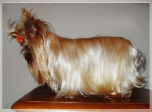 Йоркширский терьер продажа щенков в москве фото цены