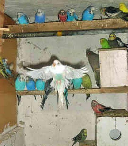Волнистые попугаи - птенцы и взрослая птицы, домашнего.