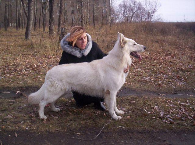 Кобель Белой швейцарской овчарки.
