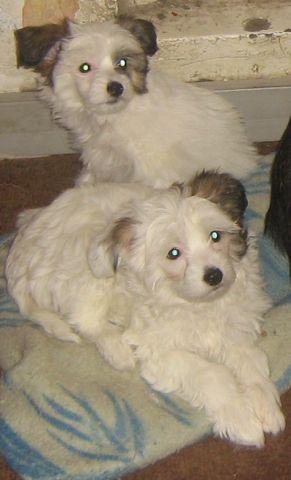 Китайская хохлатая(голая)собакащенки
