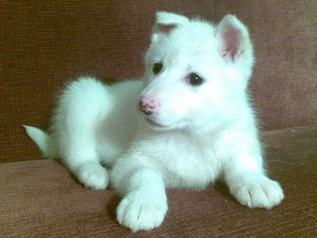 Продам щенка западно-сибирской лайки.