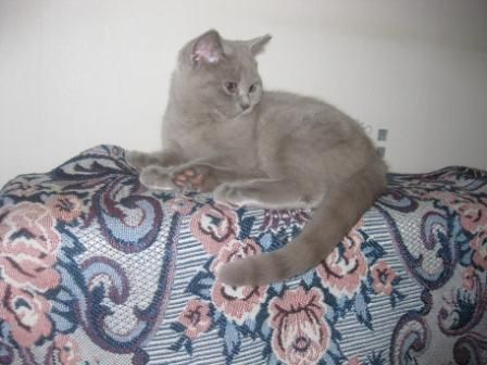 котенок 4 месяца британец фото