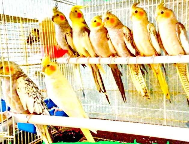Продаю птенцы кореллы от 1,5 опт, розница от 2000, Ручные 3тр.  Советую перед покупкой птицы