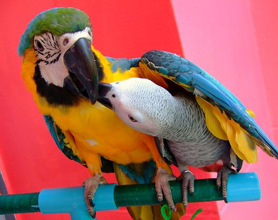 Попугаи цена и фото говорящие