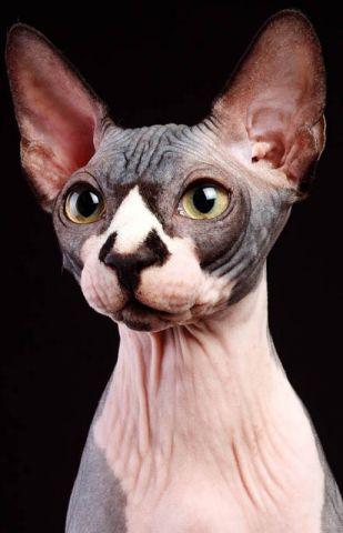 Коты сфинксы санкт-петербург