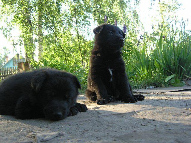 Купить щенков немецкой овчарки новосибирске