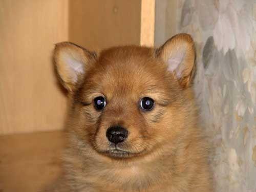 Карело-финская лайка щенки продаются.