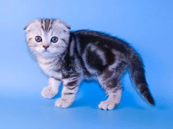 Вислоухие коты уфа