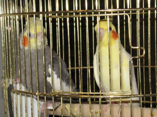 Попугаи канарейки купить