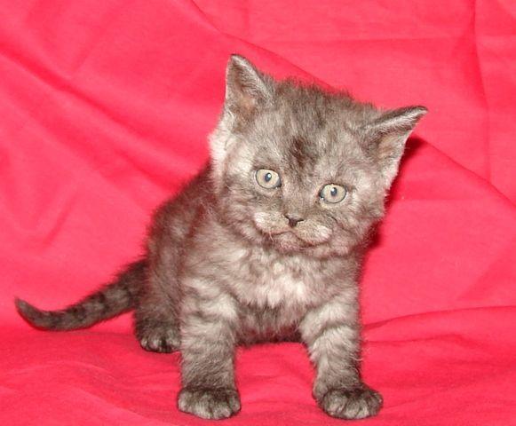 Британский котик окрас чёрный дым.