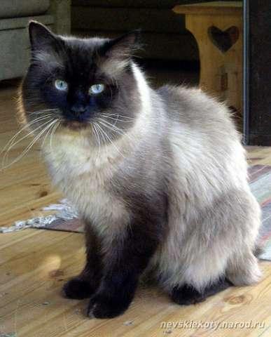 Особенности характера невской маскарадной кошки