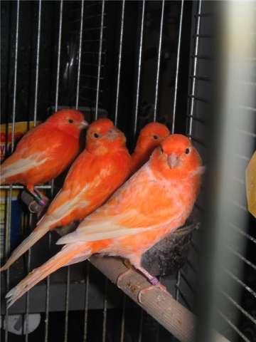 Цвет канарейка фото