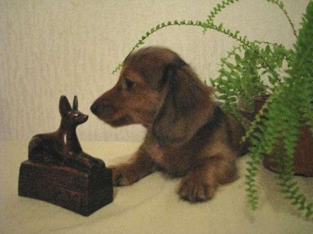 Щенки таксы фото низкая собака с высоким интеллектом и