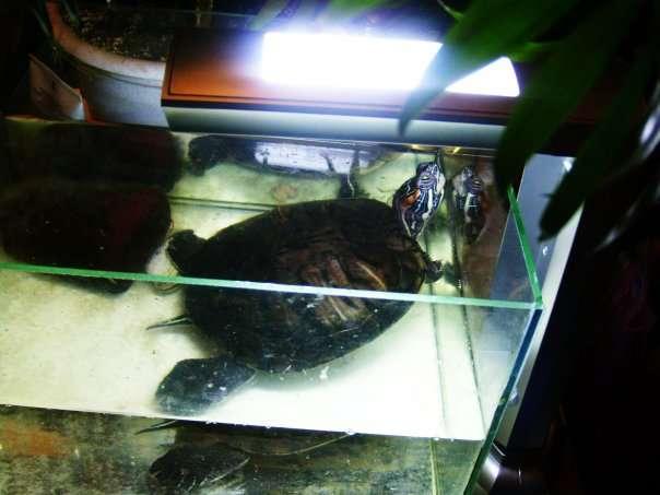 Приму а дар аквариум для черепашки