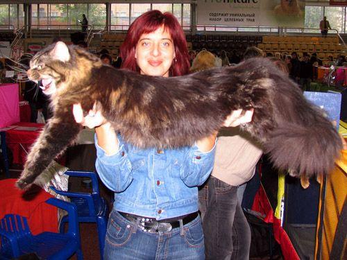 Мейн кун - большая домашняя кошка.