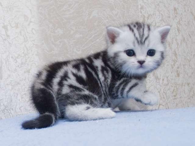 котята британские вискас фото