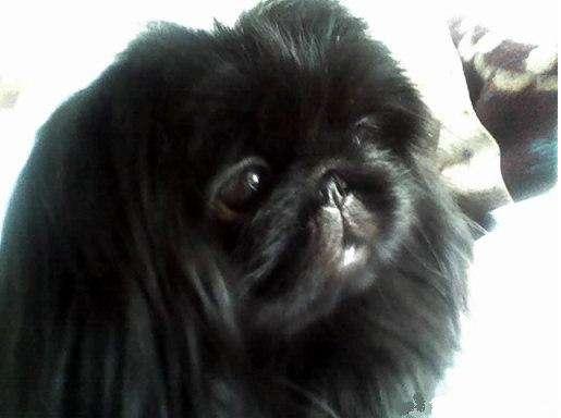 Продам замечательную собаку пекинеса добрый и ласковый.