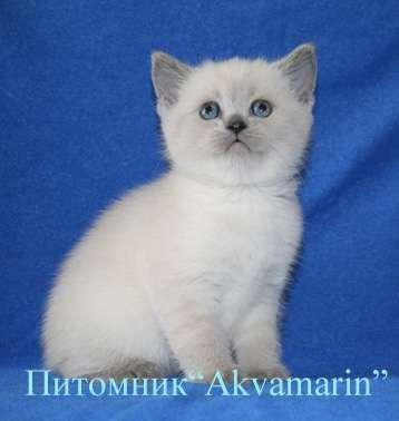 Роскошные британские котята окраса ...